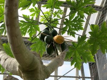 温室内で実を付けたマンゴー