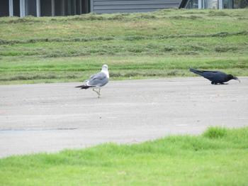 烏を追いかける鴎